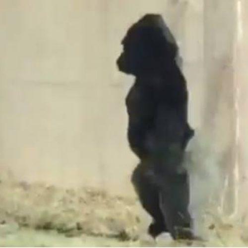 Gorila sorprende caminando erguido como los humanos