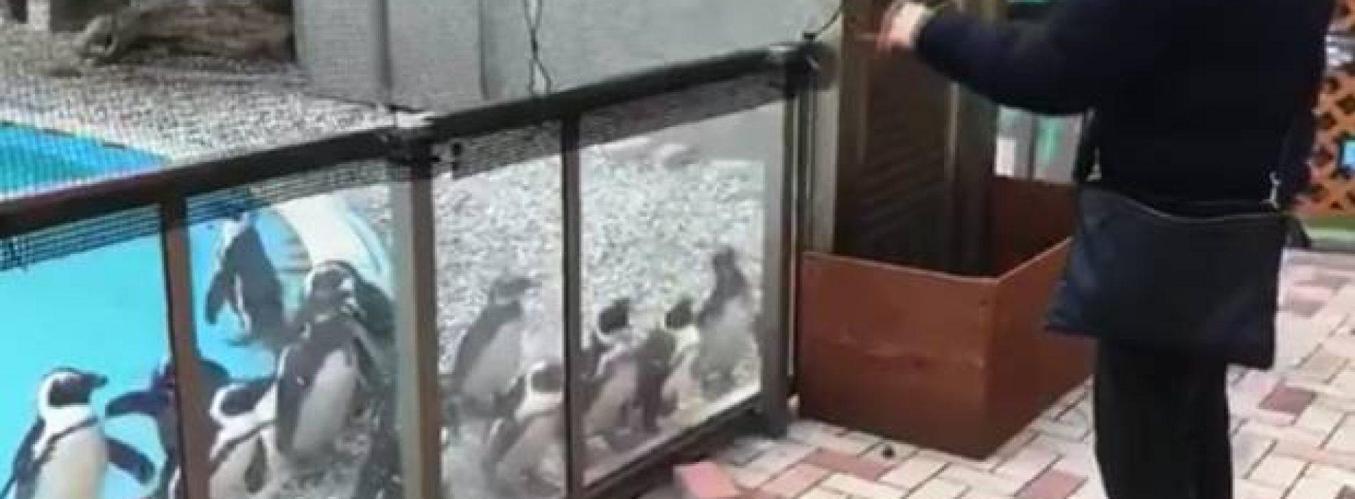Hipnotizan a pingüinos con un yo-yo